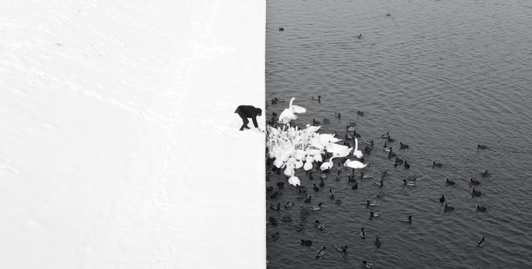 A Man Feeding Swans in the Snow, fot. Marcin Ryczek