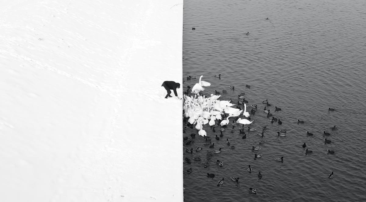 A Man Feeding Swans in the Snow, fot. Marcin Ryczek